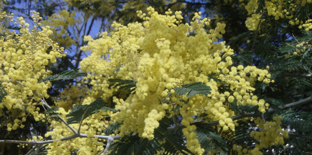 AUSTRALIAN GOLDEN WATTLE